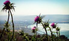 Aliyah Ulpan Kinneret gallery Wildflowers overlooking the eastern side of the Kinneret -Sea of Galilee